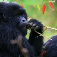Rwanda gorilla>Rwanda golden monkey tracking safari>5days