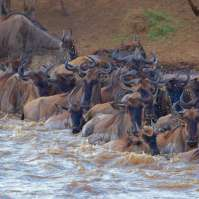 wildbeest migration experience kenya>2 days
