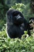 uganda primates and gorillas