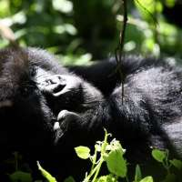 Uganda Luxury Safaris >Uganda Gorilla Safari Holidays ,Habari Africa Safaris