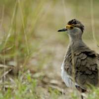 Uganda birding and wildlife tour ~ 15 days